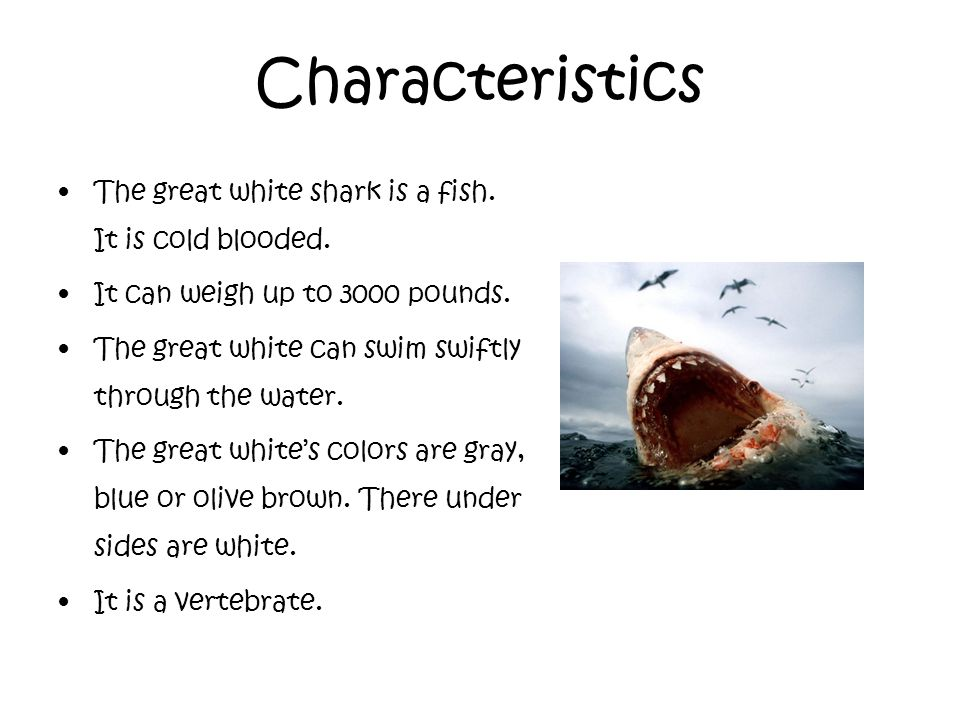 the main characteristics of the great white shark Shark physical characteristics  when a shark swims, water flows into the nostrils and enters the olfactory sacs, so they can detect smells at a great distance.