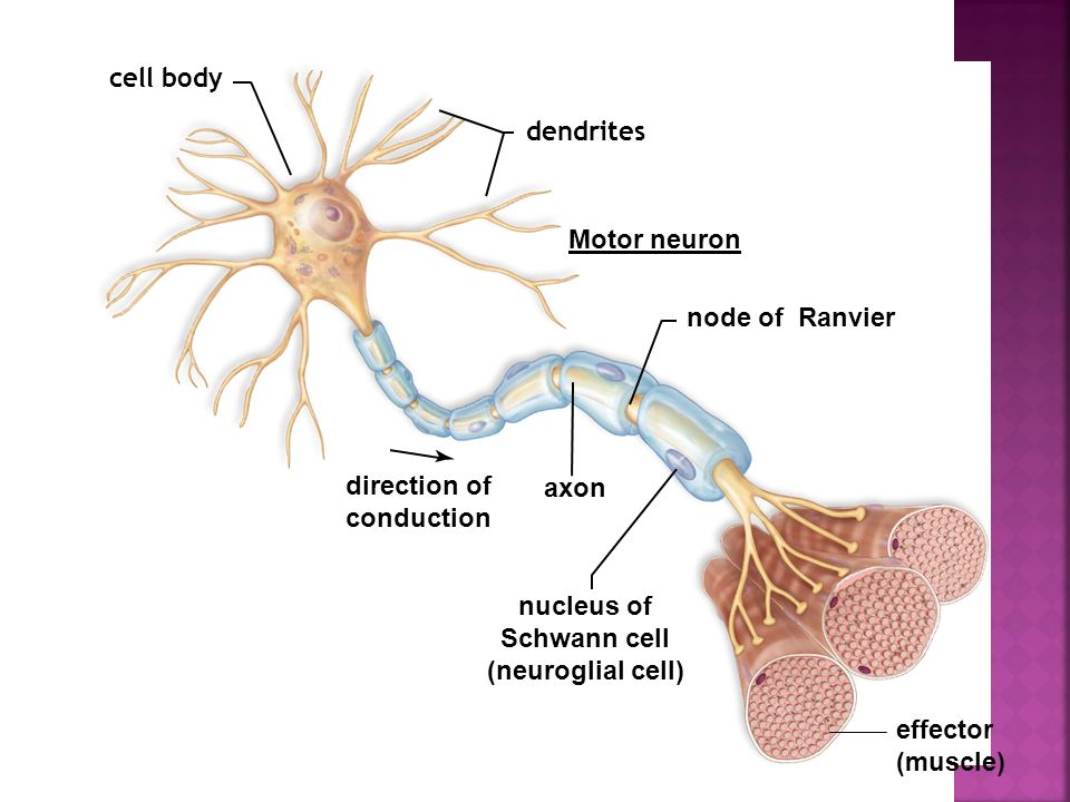 cell body dendrites. Motor neuron. node of Ranvier. direction of. conduction. axon. nucleus of.
