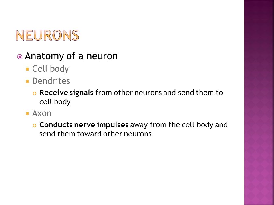 Neurons Anatomy of a neuron Cell body Dendrites Axon