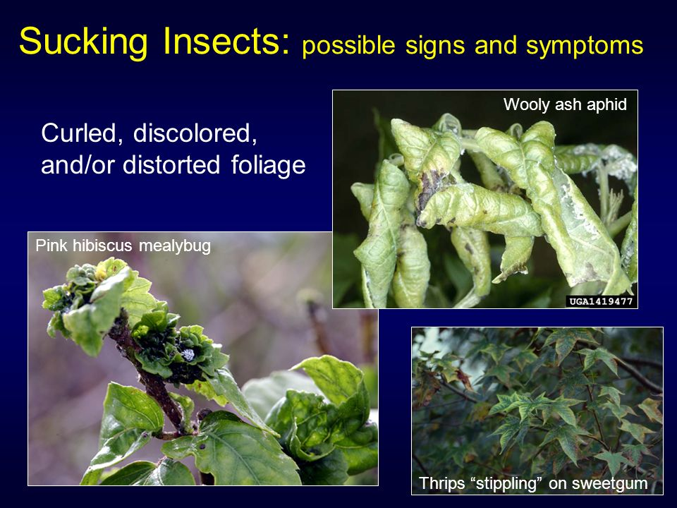 Sucking and Gall-Forming Insects - ppt download