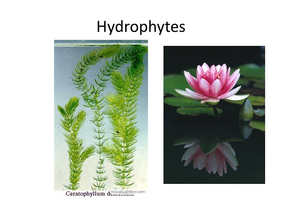 Halophytes Xerophytes Hydrophytes Mesophytes Ppt