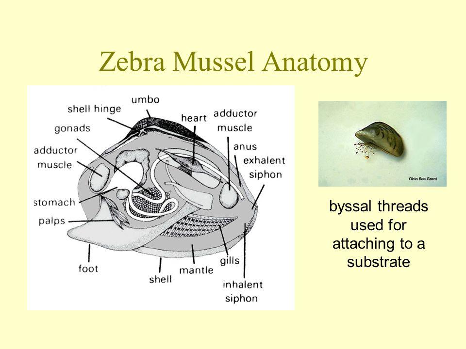 The Zebra Mussel Dreissena Polymorpha Ppt Video Online Download