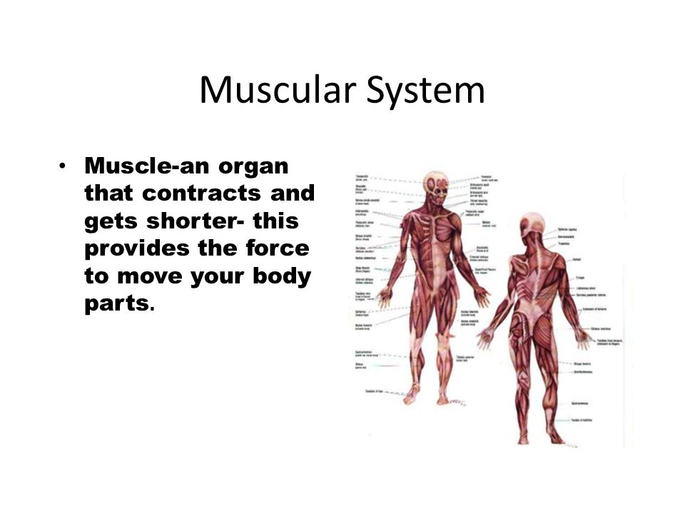 Muscular System Muscle-an organ that contracts and gets shorter ...