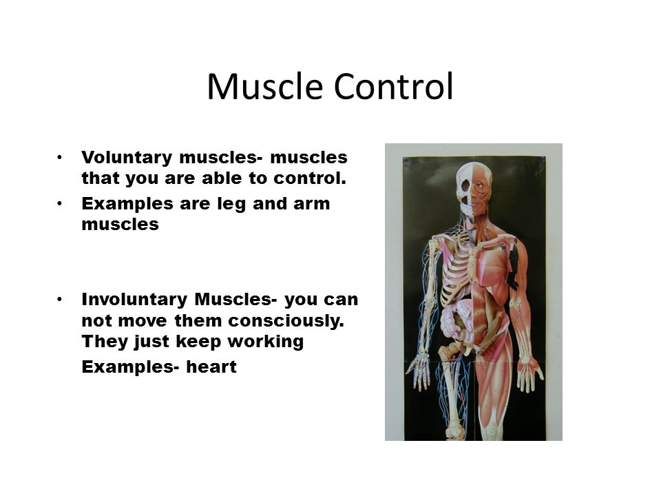 Muscular System Muscle An Organ That Contracts And Gets Shorter