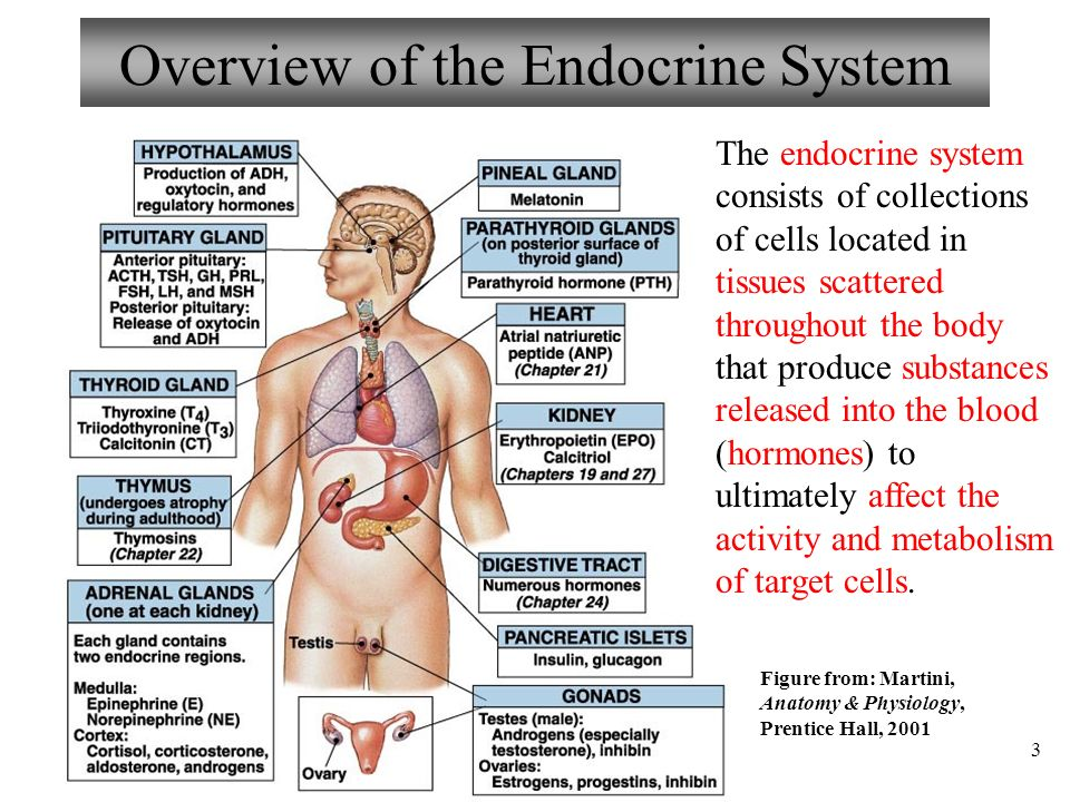 Chapter 16 Endocrine System Lecture ppt download