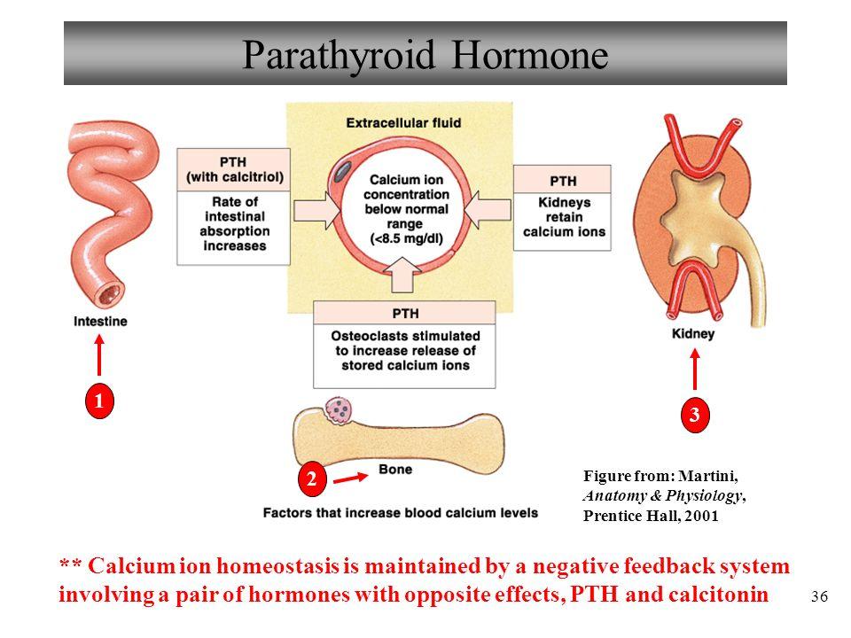 Fantástico Anatomy And Physiology Homeostasis Inspiración - Imágenes ...