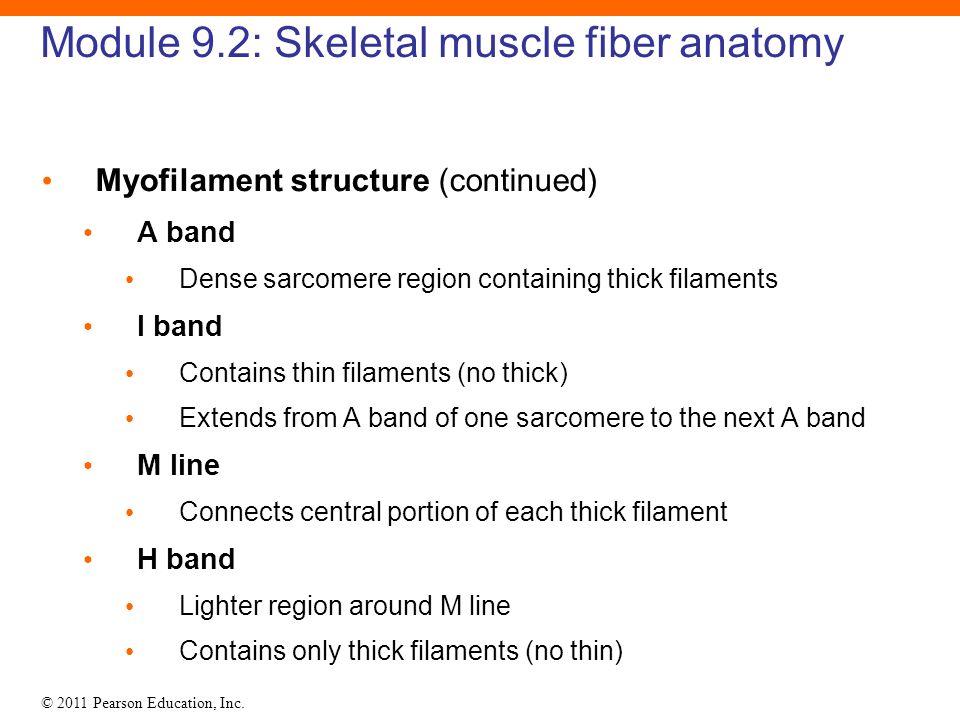 9 Skeletal Muscle Tissue  - ppt download