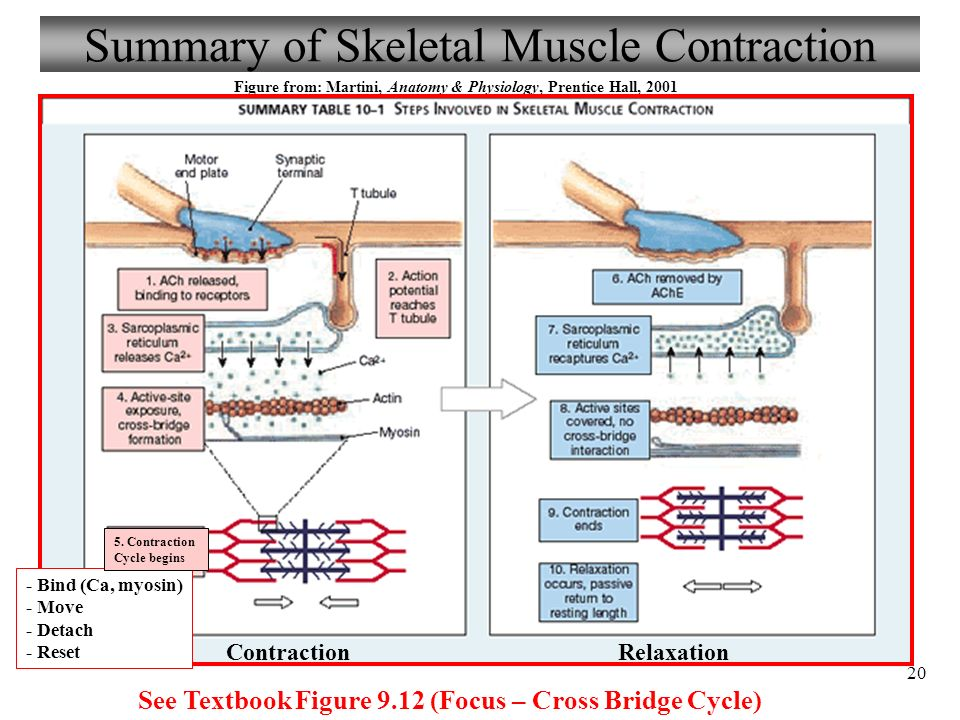 Magnífico Anatomy And Physiology Muscle Contraction Adorno ...