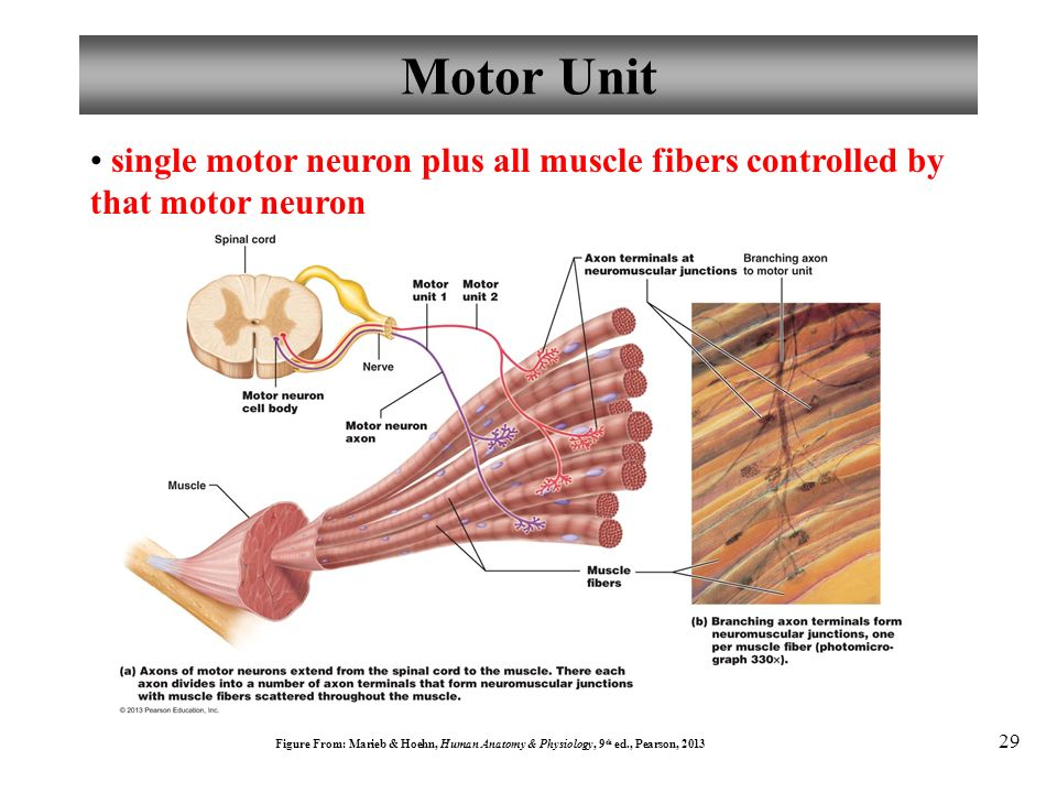 Anatomy And Physiology Muscles And Muscle Tissue Ppt Video Online