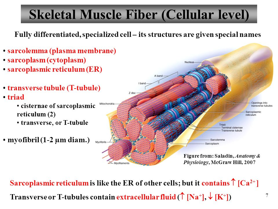 physiology lab skeletal muscle physiology essay The seven videos demonstrate the following experiments: skeletal muscle, blood typing, cardiovascular physiology, water-filled spirometry, nerve impulses, bmr measurement, and cell transport review sheets follow their respective exercise and ask the questions one would pose after the student has done the lab exercises.