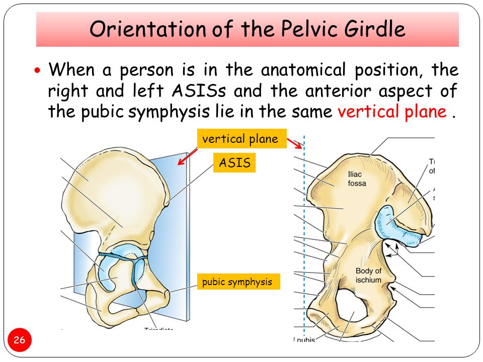 Clinical Anatomy of Pelvis Bones and Joints - ppt video online download