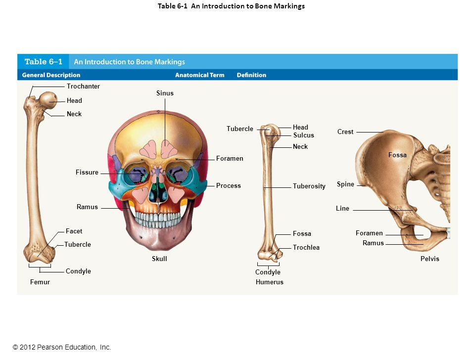 Figure 6-1 A Classification of Bones by Shape - ppt video online ...