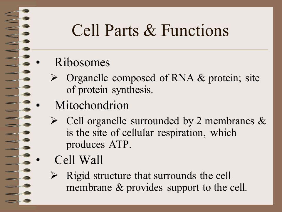 a cell organelle composed of rna and protein