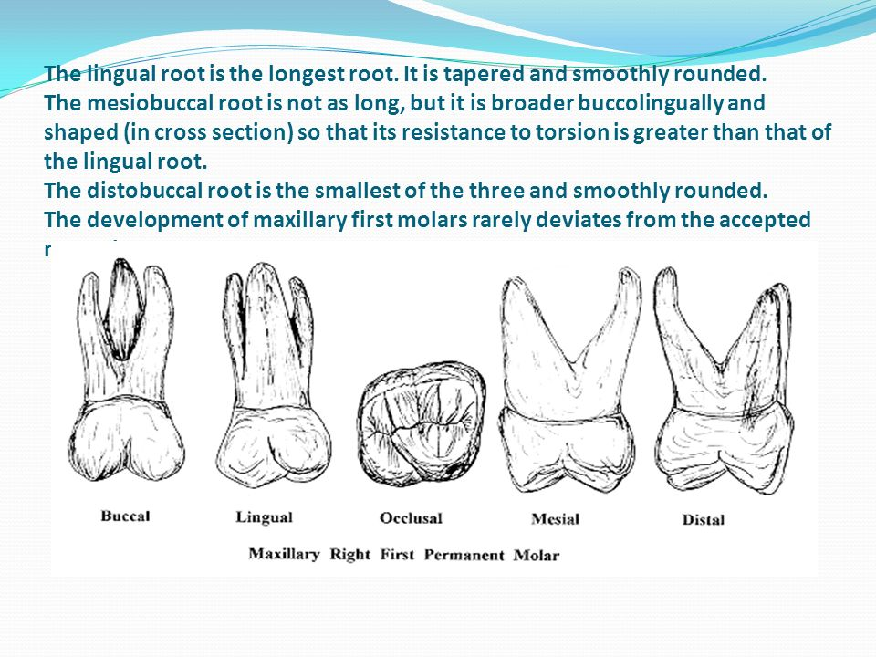 Human dentition Dental anatomy, physiology and occlusion - ppt video ...