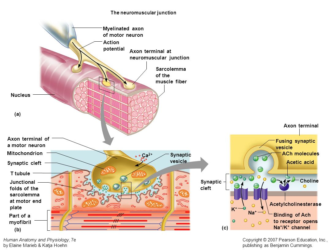 Muscular Histology and Physiology - ppt video online download