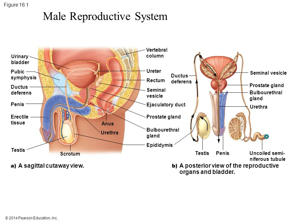 16 reproductive systems ppt download male reproductive system ccuart Choice Image
