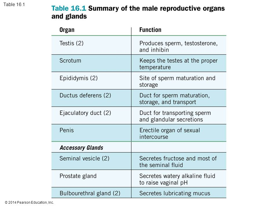 16 Reproductive Systems Ppt Download