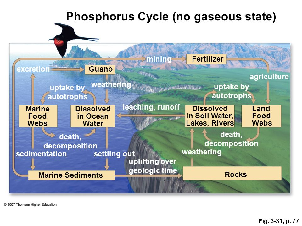 Phosphorus Cycle (no gaseous state)