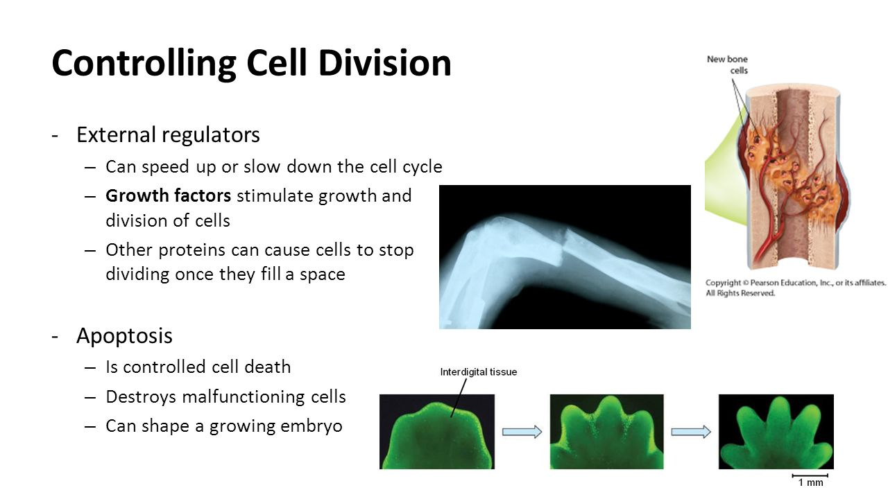 Controlling Cell Division