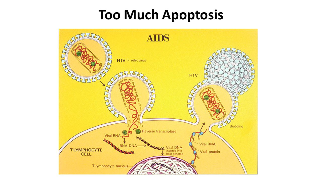Too Much Apoptosis