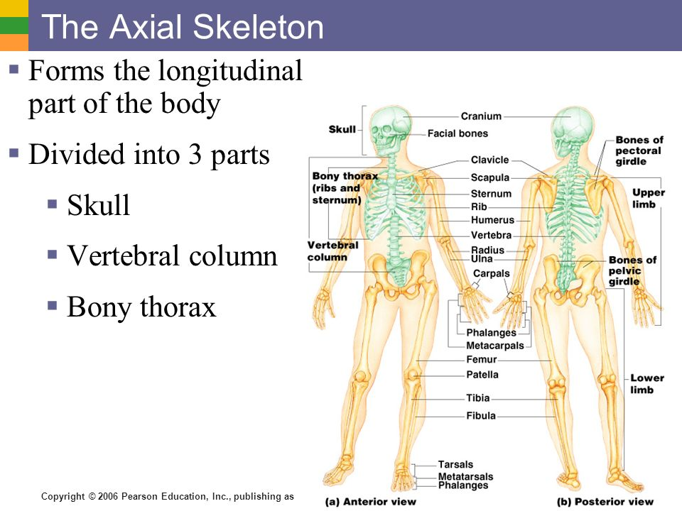 The Skeletal System All Parts Are Connective Tissue Bones Skeleton