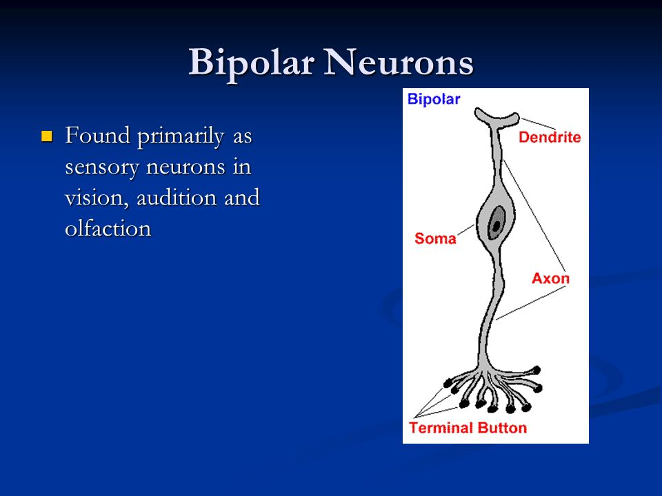 Bipolar Neurons Found primarily as sensory neurons in vision, audition and olfaction
