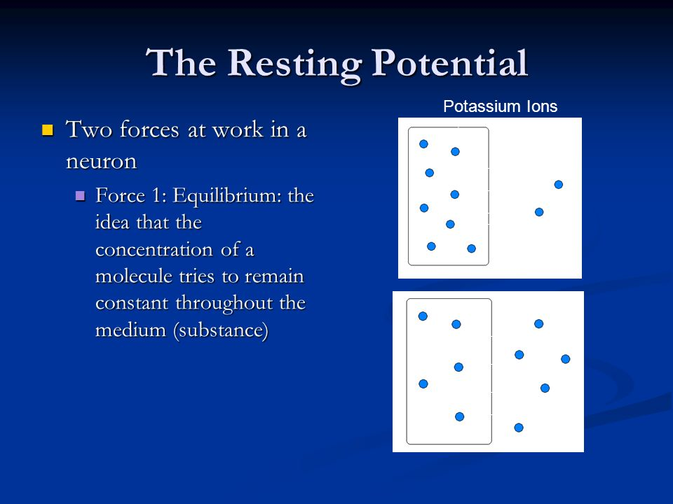 The Resting Potential Two forces at work in a neuron