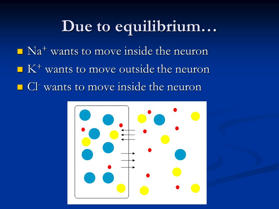 Due to equilibrium… Na+ wants to move inside the neuron
