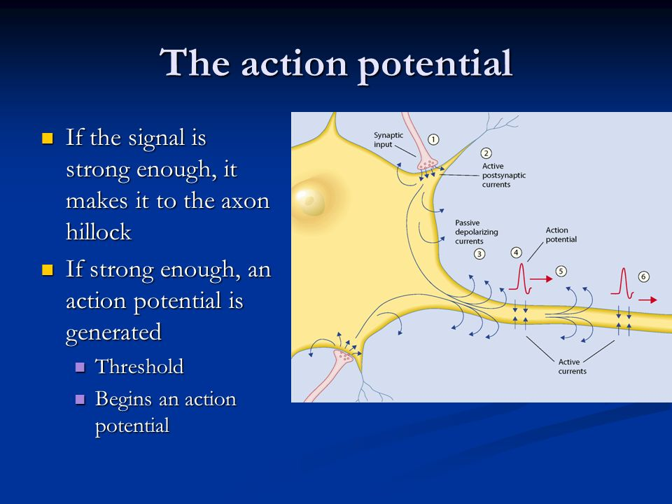 The action potential If the signal is strong enough, it makes it to the axon hillock. If strong enough, an action potential is generated.