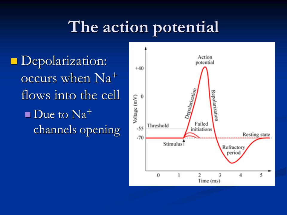 The action potential Depolarization: occurs when Na+ flows into the cell.