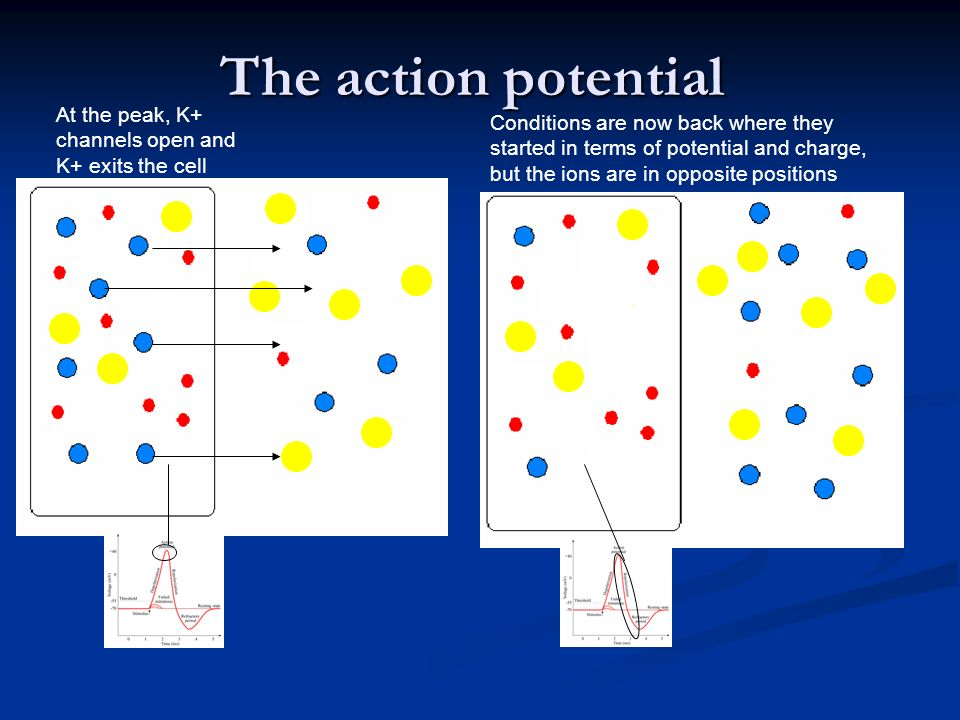 The action potential At the peak, K+ channels open and K+ exits the cell.