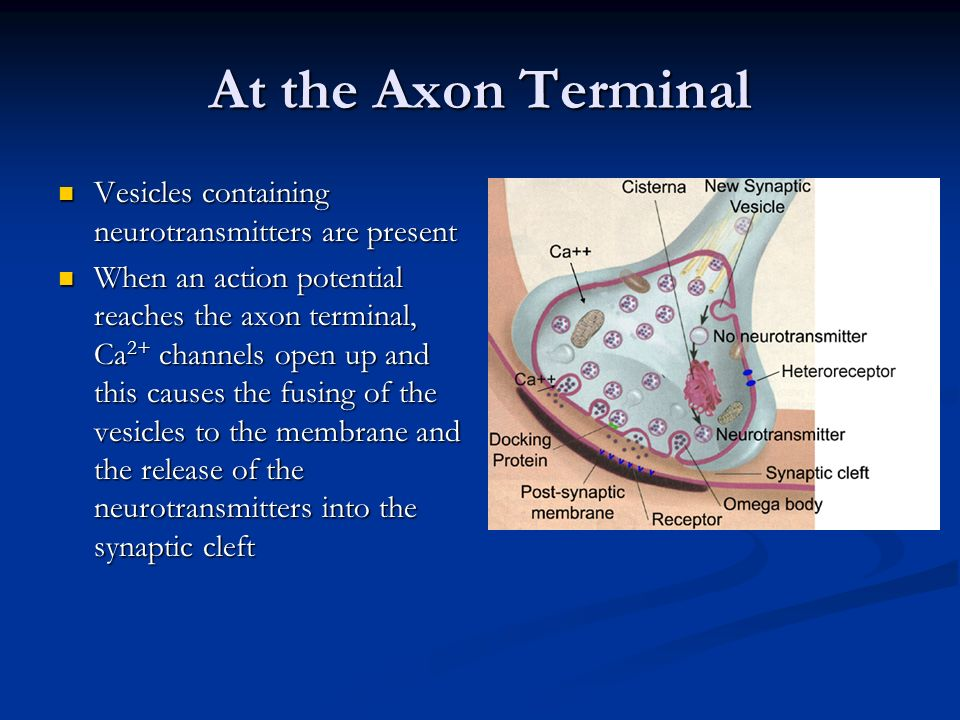 At the Axon Terminal Vesicles containing neurotransmitters are present