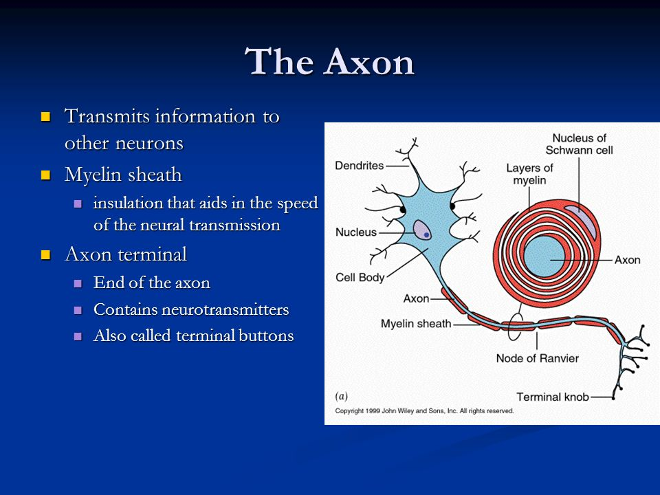The Axon Transmits information to other neurons Myelin sheath