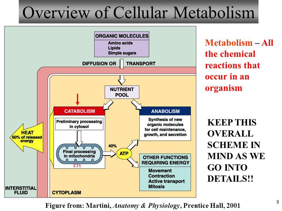 Fantastisch Metabolism Anatomy And Physiology Bilder - Menschliche ...