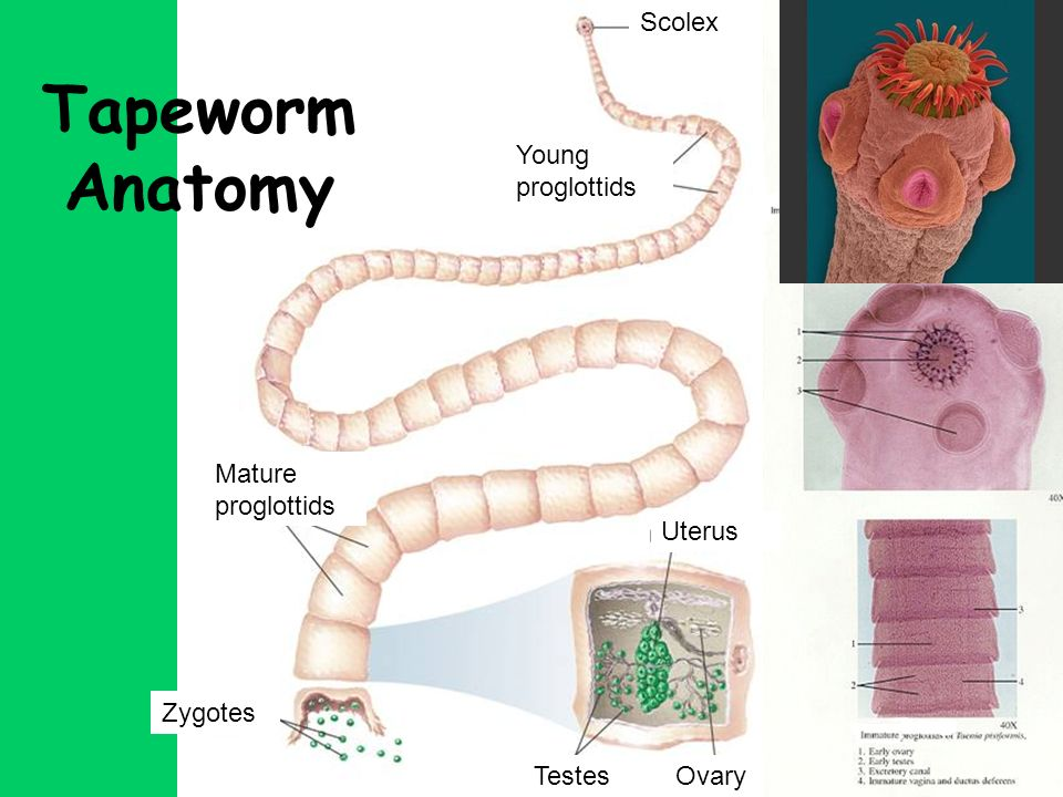 Phylum platyhelminthes the flatworms ppt video online download 36 tapeworm anatomy ccuart Gallery