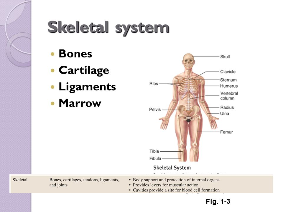 Skeletal System Diagram With Tendons Block And Schematic Diagrams