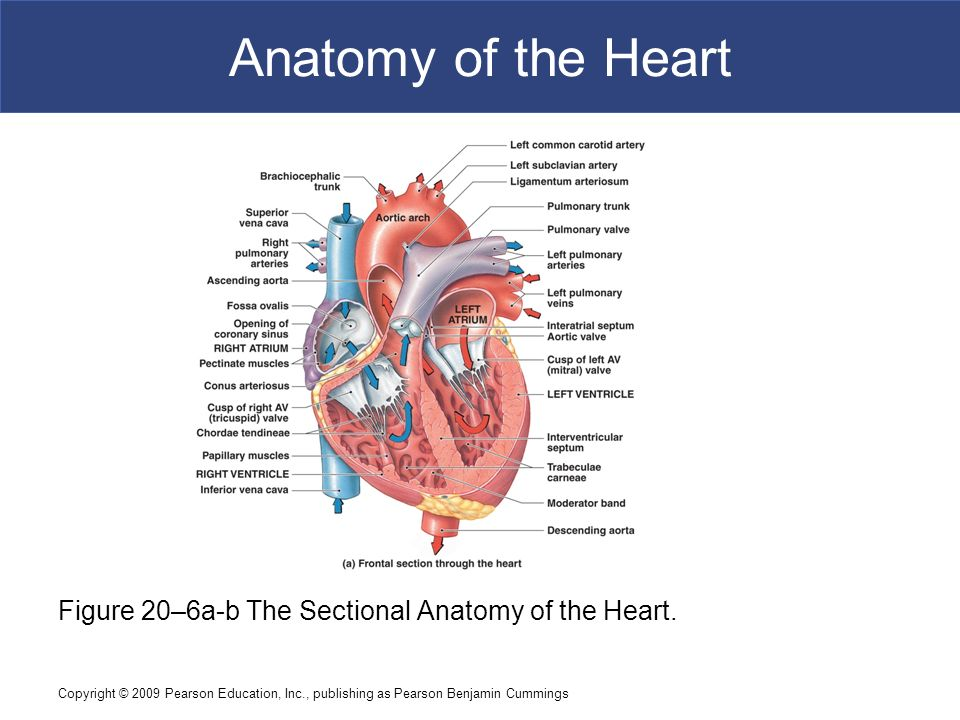 Introduction to Cardiovascular System - ppt video online download