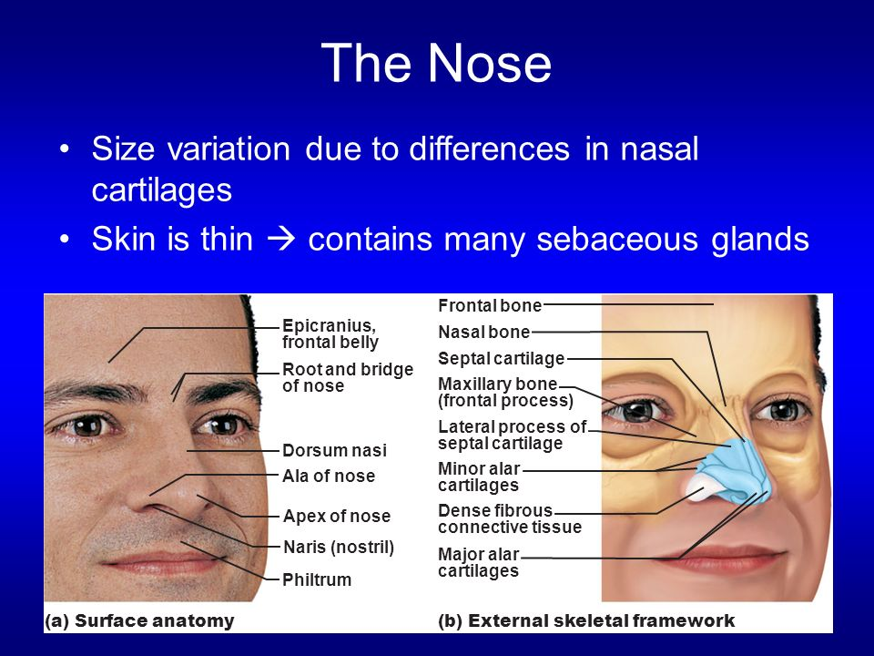 The Nose Size variation due to differences in nasal cartilages