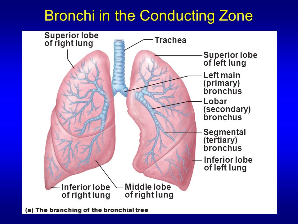 Bronchi in the Conducting Zone