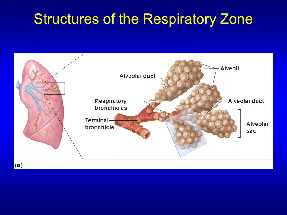 Structures of the Respiratory Zone