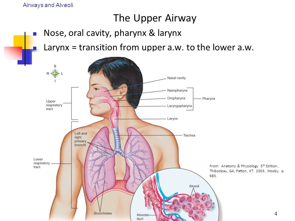 Anatomy Physiology Of The Respiratory System Ppt Video Online