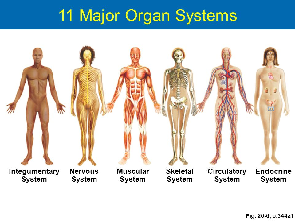 Animal Tissues and Organ Systems - ppt download