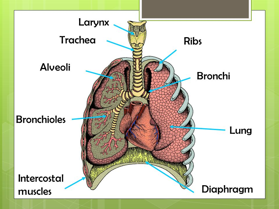 Which Organs Are Involved In The Respiratory System Breathing