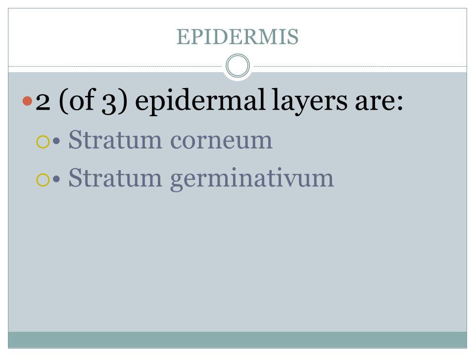 2 (of 3) epidermal layers are:
