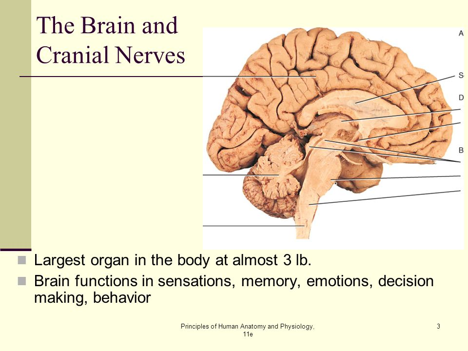 The Brain and Cranial Nerves Lecture Outline - ppt video online download