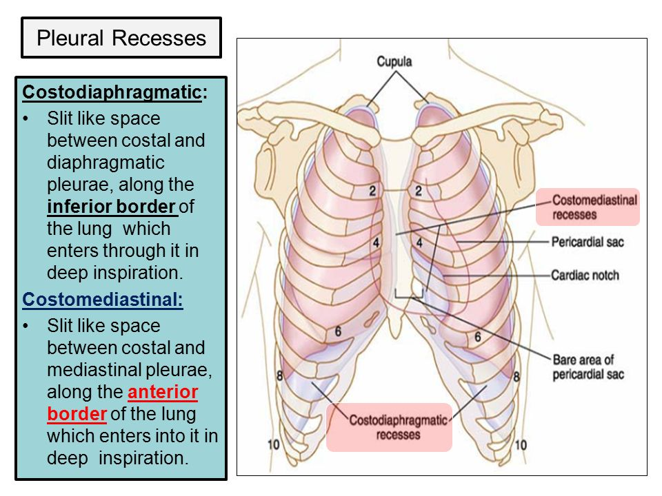 Outstanding Lung Pleura Anatomy Image - Anatomy And Physiology ...