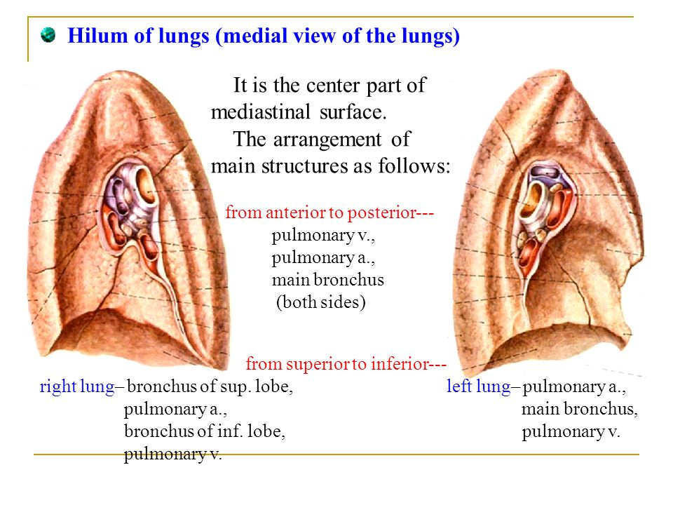 Ⅴ. Lung: Position: located in the thoracic cavity, both sides of ...