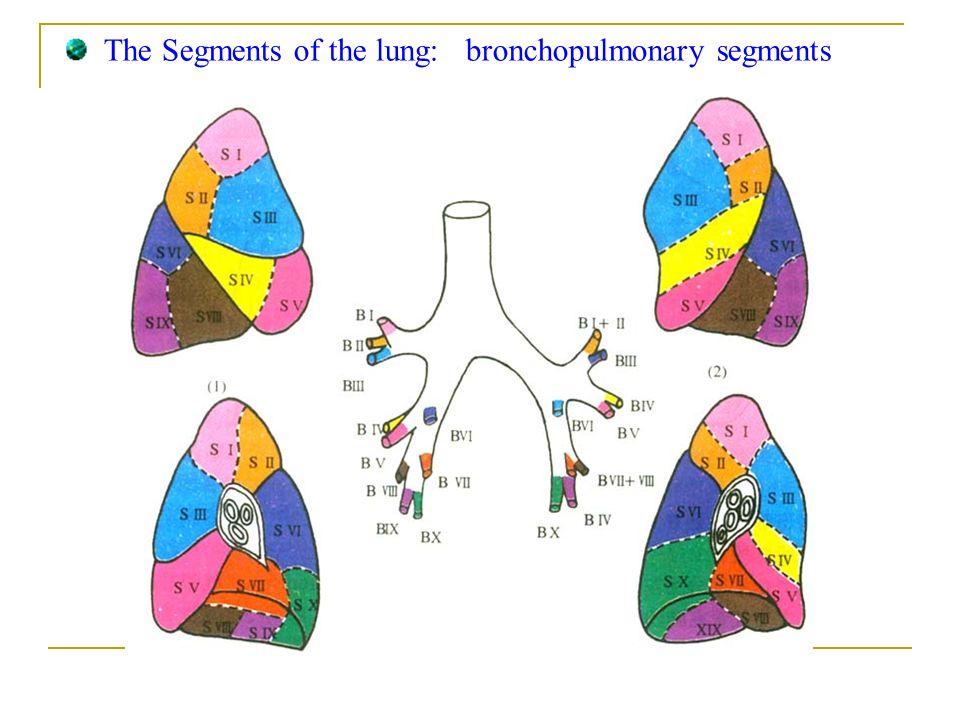 Bronchopulmonary Segments Anatomy Golfclub
