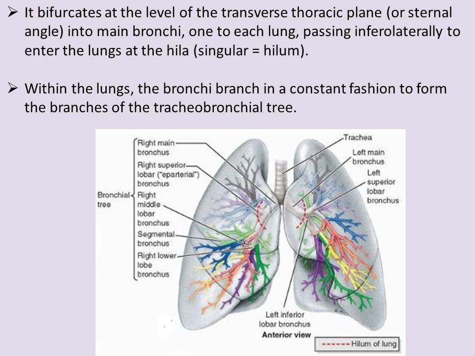 Nose associated structures larynx trachea pleura lungs it bifurcates at the level of the transverse thoracic plane or sternal angle into ccuart Choice Image