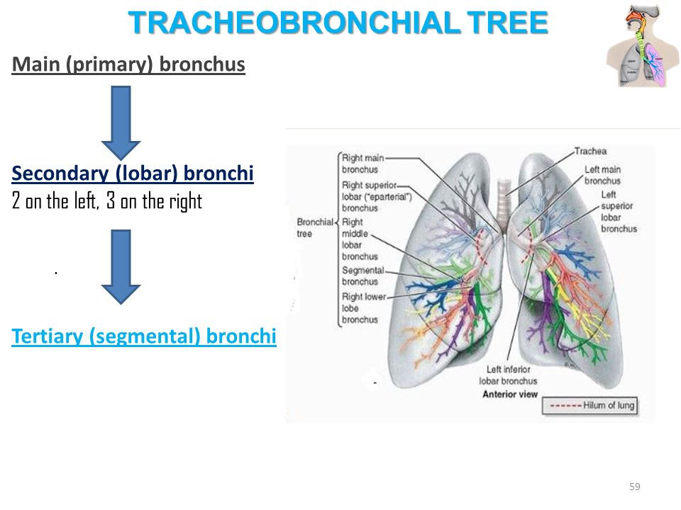 Anatomy Of The Respiratory System Kaan Ycel Md Phd Ppt Video